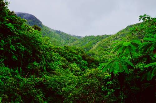 คลังภาพถ่ายฟรี ของ el yunque, ต้นไม้, ธรรมชาติ, ป่า