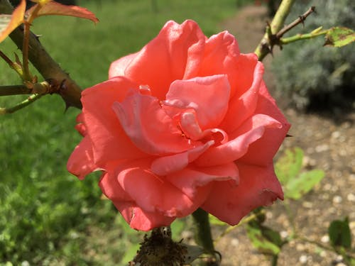 Free stock photo of flower, garden, rise
