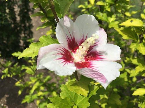 Gratis lagerfoto af blomst, have, hvid