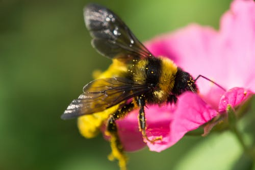 Close-Up Photo Of Bumble Bee On Pink Petaled Flower