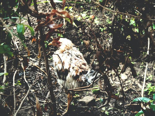 乾草, 倒下的树木, 倒下的樹, 公雞 的 免费素材照片