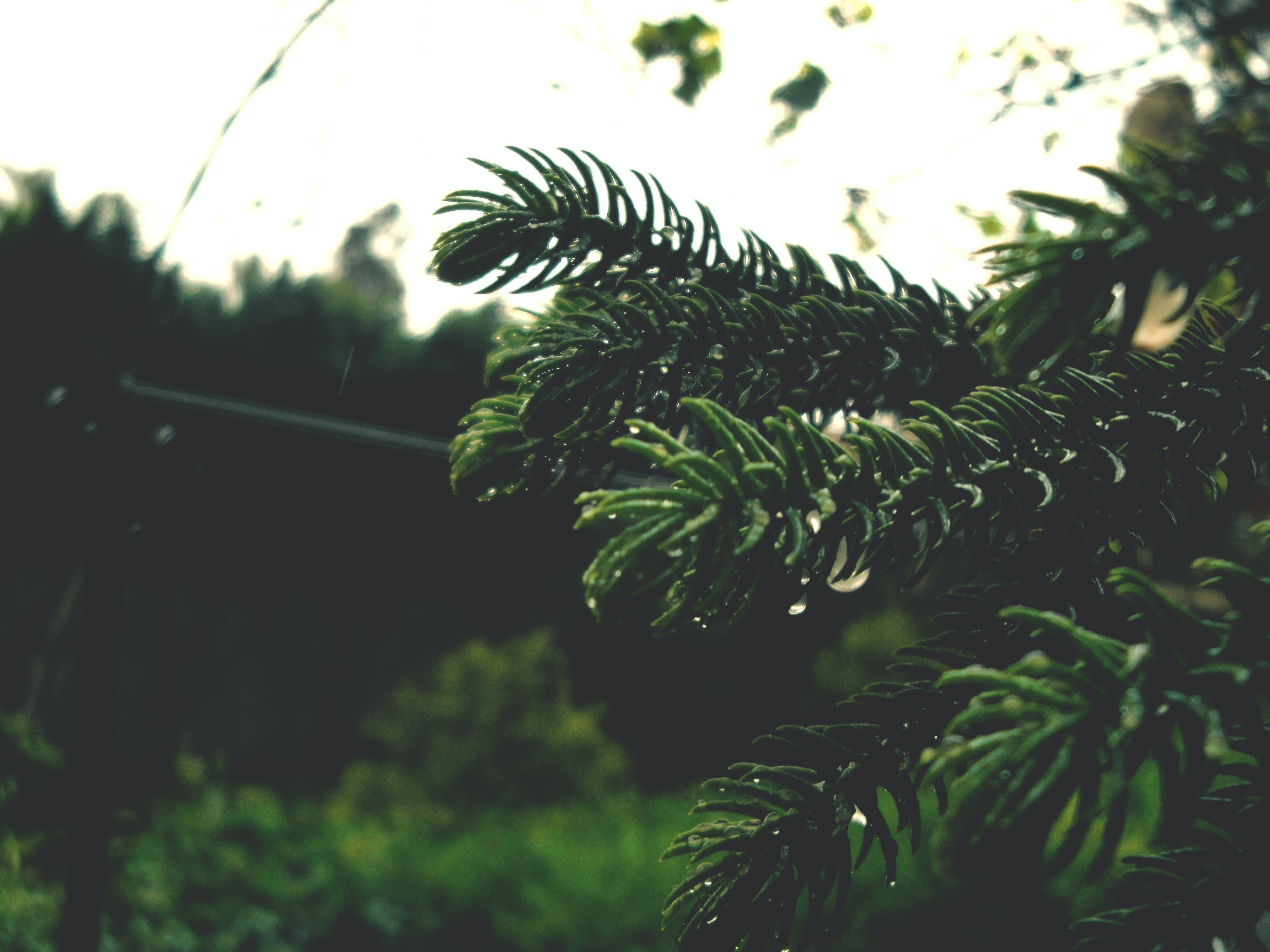 Free stock photo of christmas, christmas tree, foliage, garden