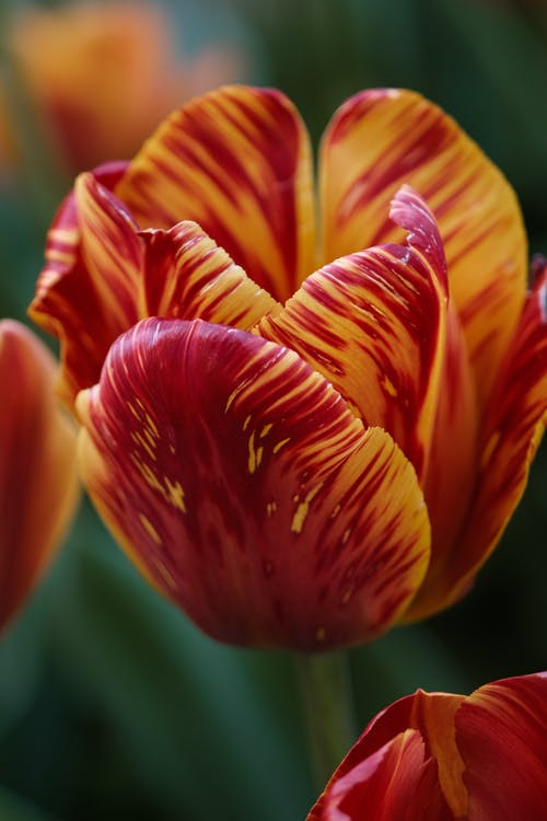Red and Yellow Tulip Flower