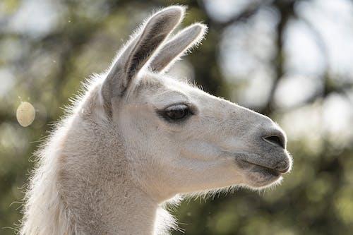 Fotos de stock gratuitas de al aire libre, alpaca, animal