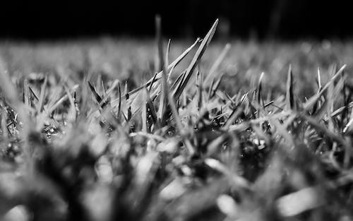 Free stock photo of black and white, grass, lawn