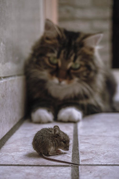Shallow Focus Photo of a Rat Stared Down by a Cat
