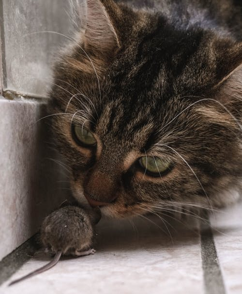 Close-Up Photo of a Rat Hunted by a Cat
