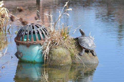 Free stock photo of box turtle, fish pond, garden pond