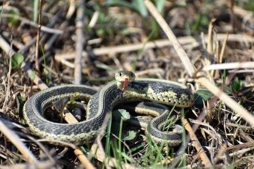 Garter Snake on Brown Grass