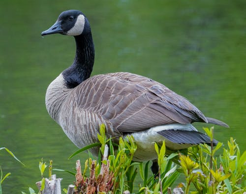 Canada Goose by the Lake