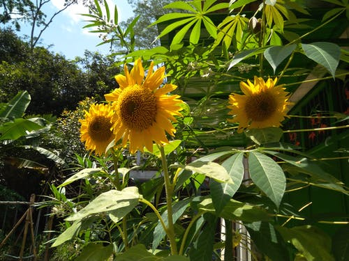 Free stock photo of beautiful flowers, natural, sunflower
