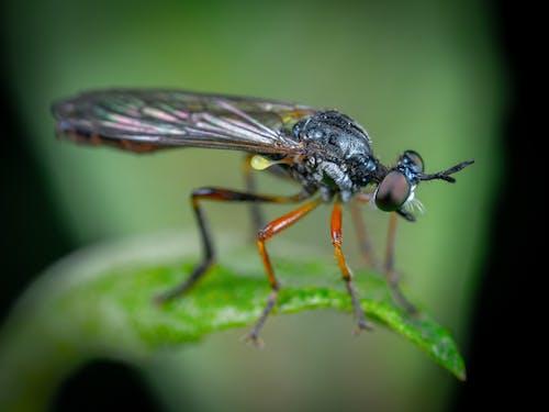 マクロ, 昆虫, 短剣の無料の写真素材