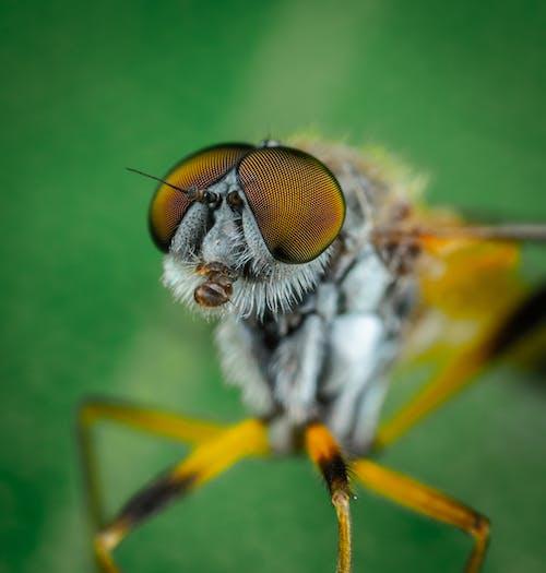 マクロ, 昆虫, 蝿の無料の写真素材