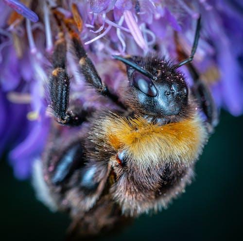 バンブルビー, マクロ, 昆虫の無料の写真素材