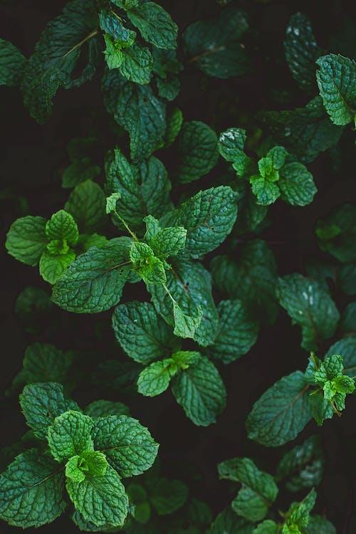 Photos gratuites de à base de plantes, aliments, aromatique