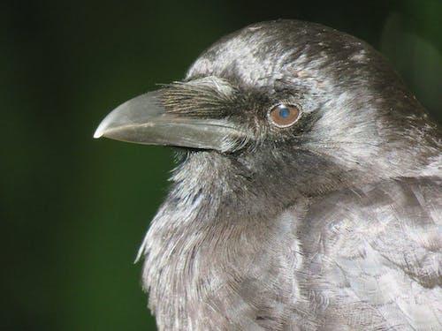 Free stock photo of bird s eye, crow, crow close up