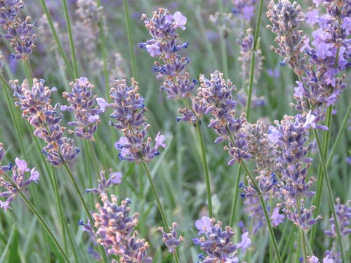 Free stock photo of blooming lavender, lavender, lavender blooming