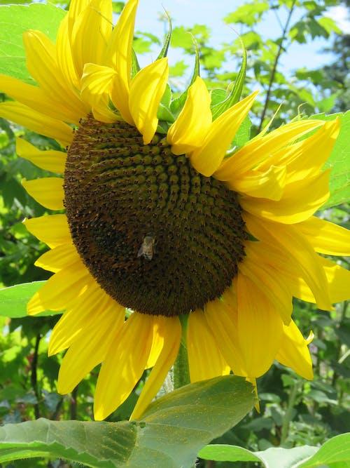 Free stock photo of large sunflower, sunflower, sunflower bloom