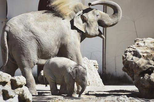 2 Gray Elephants Walking on Gray Concrete Pavement