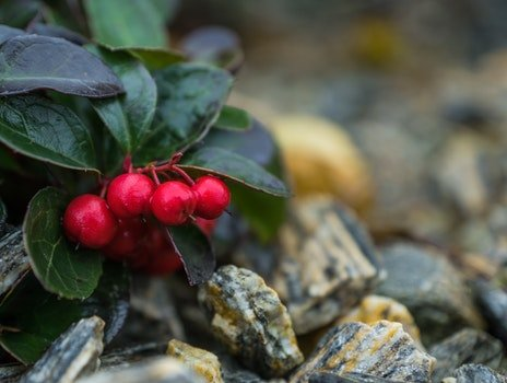 Free stock photo of red fruits-nature
