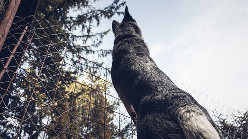 Low Angle Photography of Adult Gray German Shepherd