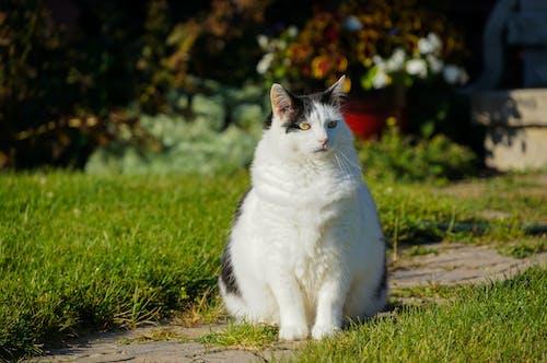 Δωρεάν στοκ φωτογραφιών με λιπαρά γάτα μαύρο λευκό κατοικίδιο ζώο