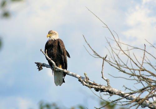 Δωρεάν στοκ φωτογραφιών με αετός υπερήφανο σύμβολο