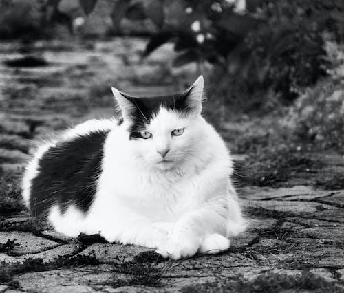 Δωρεάν στοκ φωτογραφιών με μαύρο και άσπρο λίπος γατών