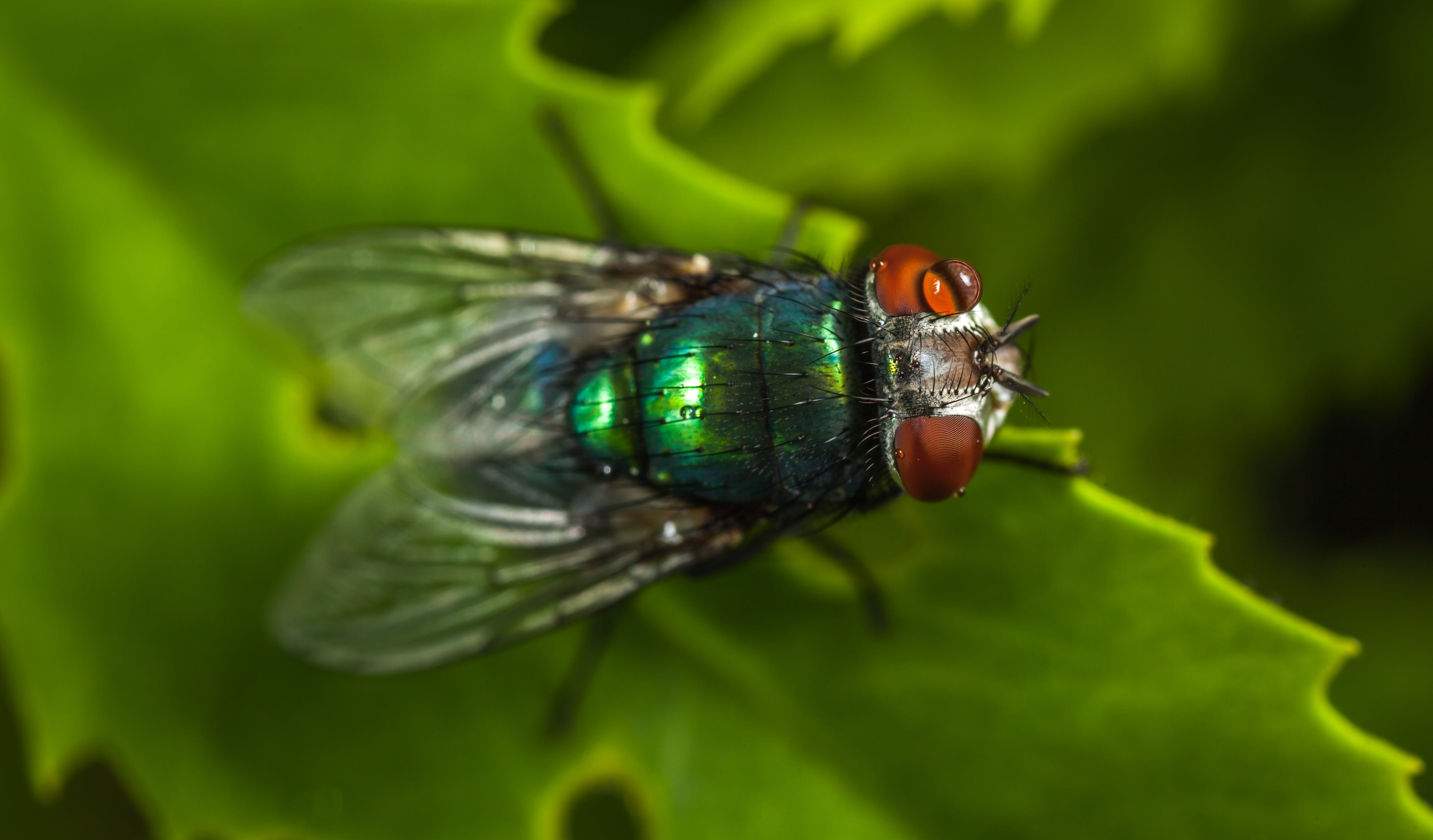 Macro Photography of Green Fly