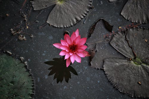 Gratis lagerfoto af #lotus #waterlily #lake #leaves #flowers