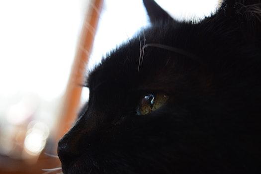 Free stock photo of animal, pet, eyes, cat