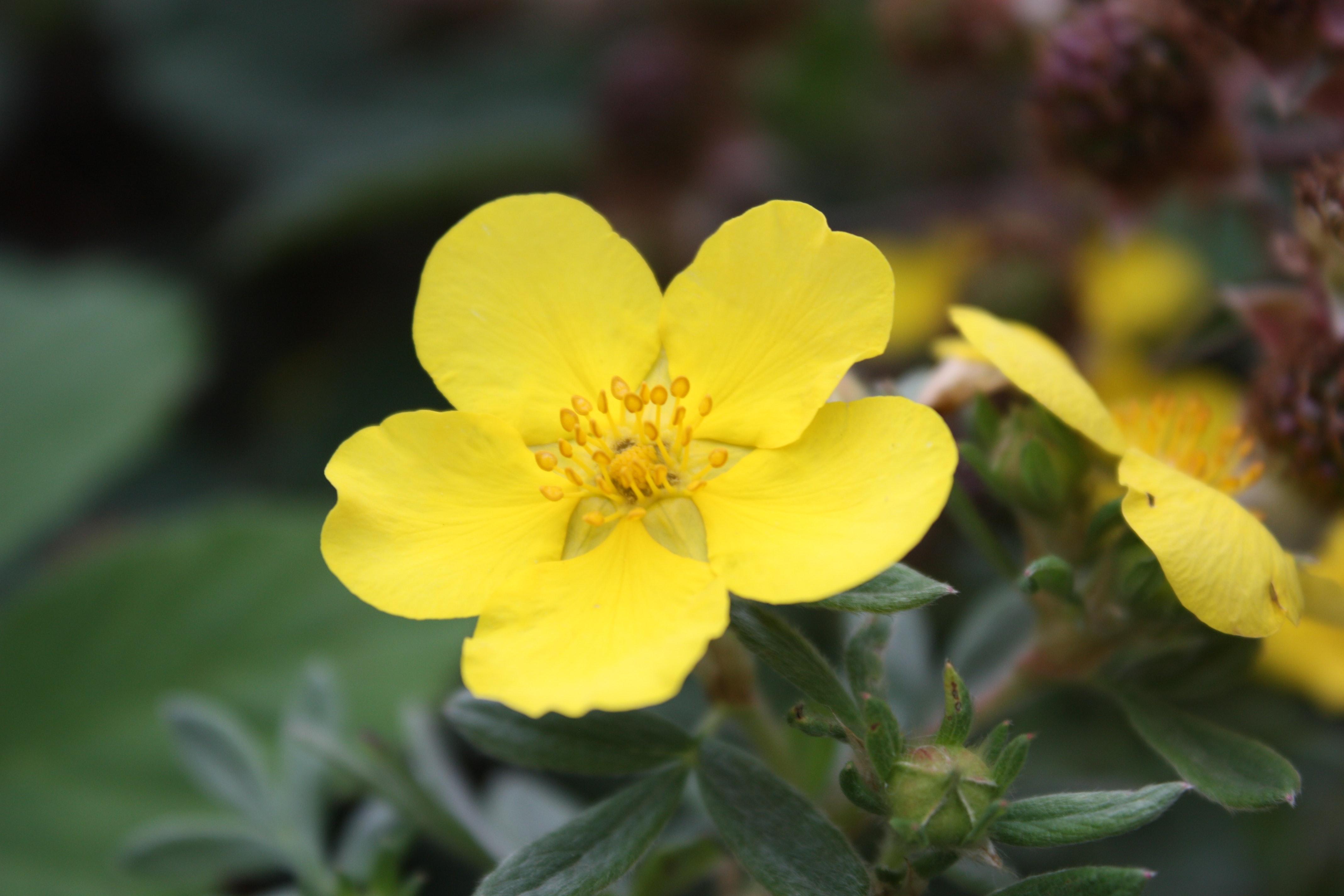 Free Stock Photo Of Beautiful Flowers Plants Yellow Flower