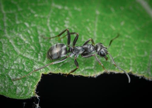 Foto stok gratis makro, semut, serangga