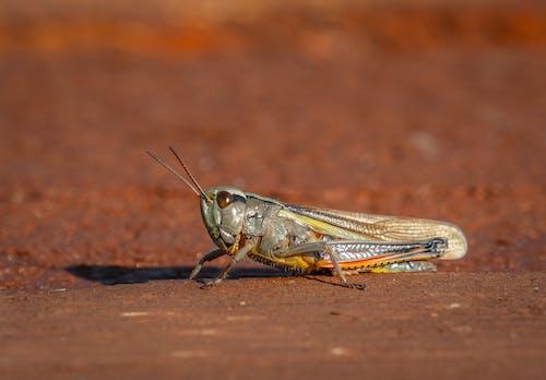 Foto stok gratis belalang