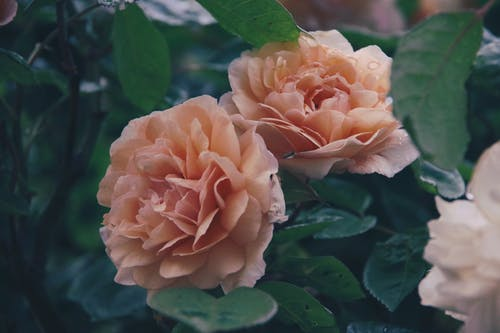 Free stock photo of garden roses, pink roses, roses