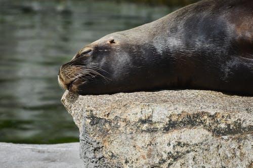 Seal on Gray Rock Near Body of Water
