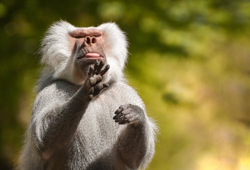 Gray Monkey Eating Brown Food