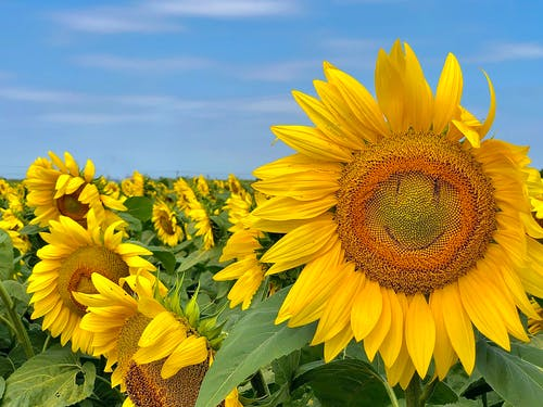 Free stock photo of smiley, sunflower, sunflower field