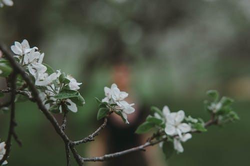 Δωρεάν στοκ φωτογραφιών με άνθη κερασιάς, άνθος κερασιάς, κεράσι ανθίσει φόντο