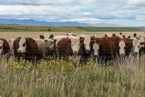 Cows in Grass Field