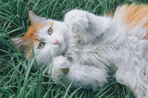 White and Orange Cat Lying on Green Grass