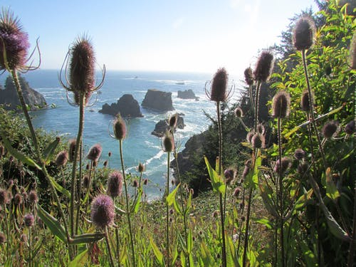 Free stock photo of oregon coast, pacific ocean, thistles