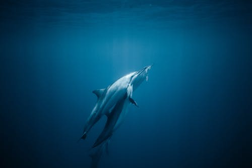 Grey Dolphin in Blue Water