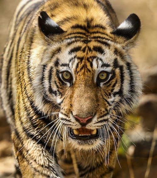 兇猛, 動物, 動物攝影 的 免費圖庫相片