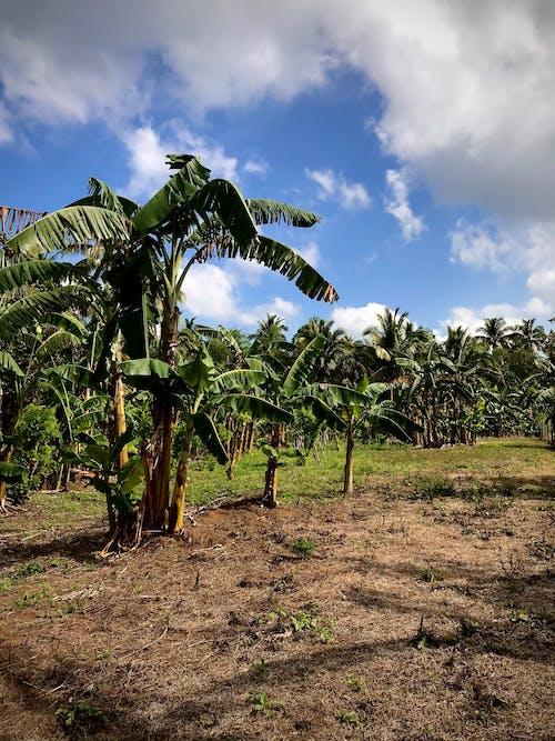 Photos gratuites de agriculture, arbres, bananier
