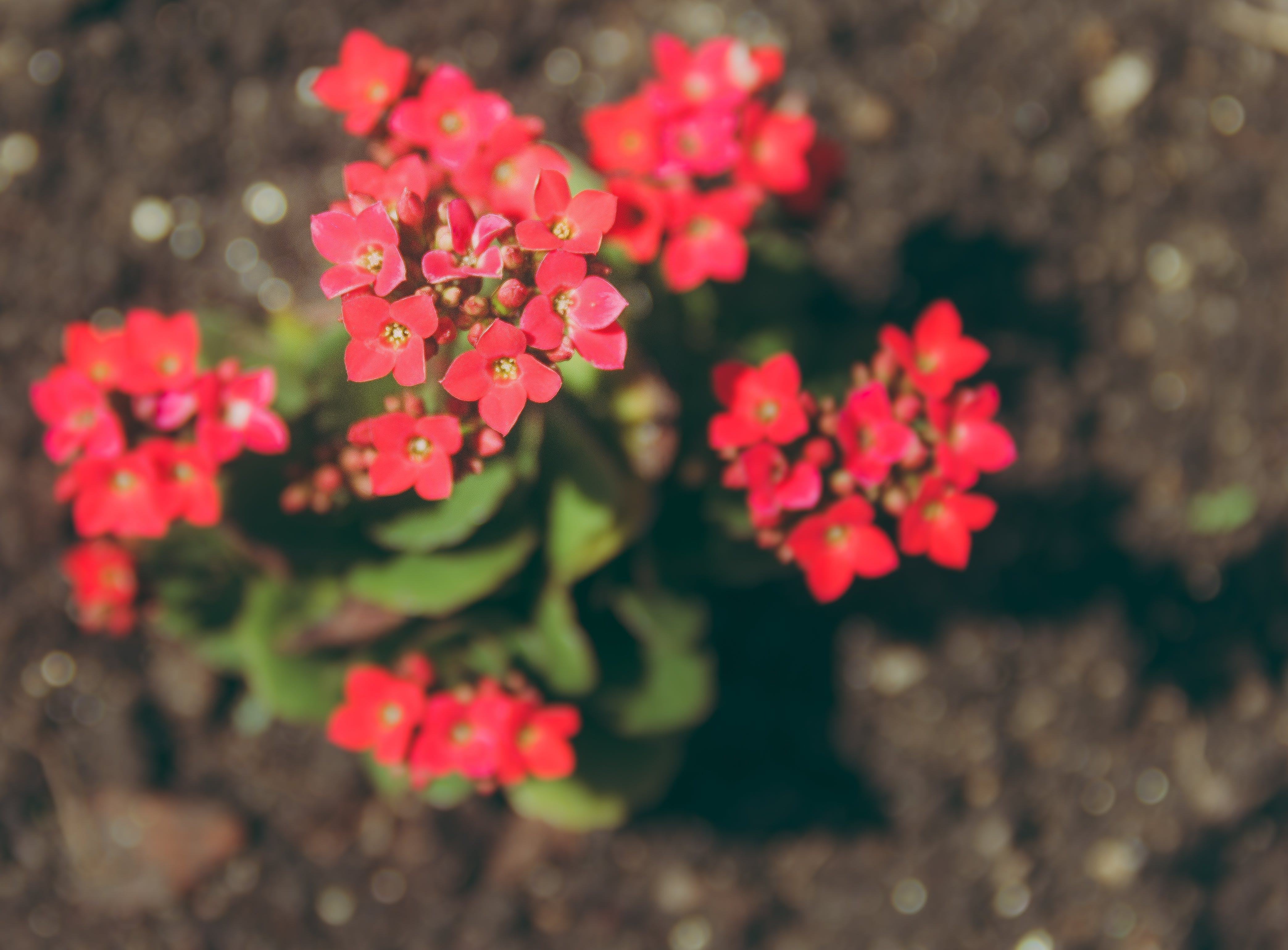 Close-up Photography of Kalanchoe Flowers