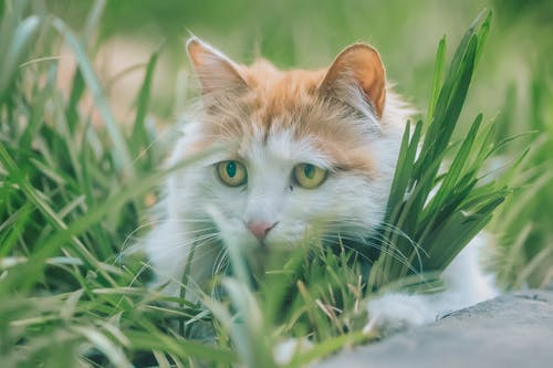 Orange and White Cat on Green Grass