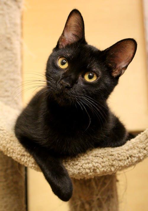 Imagine de stoc gratuită din mâță, negru, pisicuță