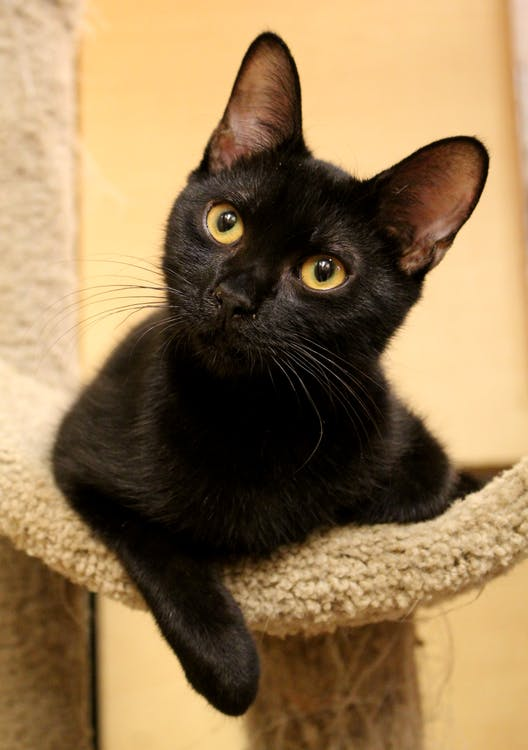 mâță, negru, pisică