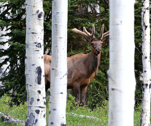 Free stock photo of colorado, elk, mother nature, wildlife photography